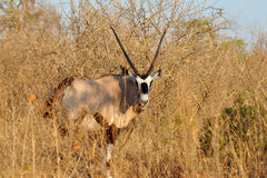 Oryx gazelle-gemsbok Royalty Free Stock Photo