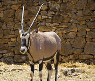 Oryx gazelle,gemsbok,antelope Stock Images