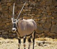 Oryx gazelle,gemsbok,antelope stock images
