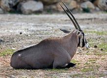 Oryx gazelle 8 Stock Photos