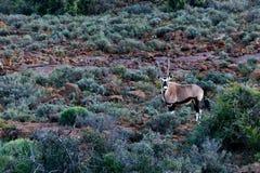 Oryx - Gemsbok στον τομέα - πάρκο άγριας φύσης - δύση Beaufort Στοκ Εικόνες