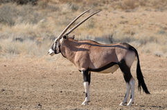 Oryx (Gemsbok) Royalty Free Stock Images