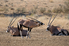 Oryx (Gemsbok) Royalty Free Stock Photo