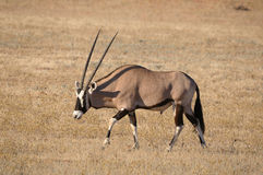 Oryx (Gemsbok) photographie stock libre de droits