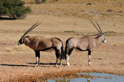 Oryx (Gemsbok) Royalty Free Stock Photography