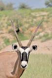 Oryx (Gemsbok) photographie stock