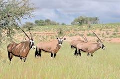 Oryx (Gemsbok) images stock