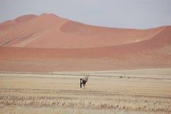 Oryx of Gemsbok Royalty-vrije Stock Afbeeldingen