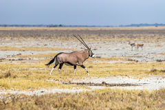 Oryx, or gemsbok, antelope running in the savannah of Etosha National Park Royalty Free Stock Photos