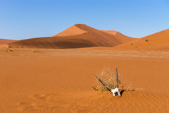 Oryx gemsbok antelope skull in Sossusvlei dunes Royalty Free Stock Images