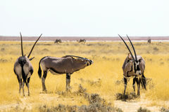 Oryx gemsbok antelopes in the savannah of Etosha National Park Royalty Free Stock Photos
