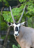 Oryx or gemsbok Royalty Free Stock Photo