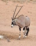 oryx gemsbok gazella антилопы Стоковые Изображения RF
