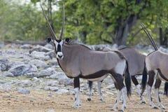 Oryx, Gemsbok, Oryx gazella obrazy stock