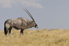 Oryx, Gemsbok, gazella d'oryx images stock