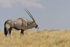 Oryx, Gemsbok, gazella d'oryx images stock