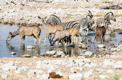 Wildlife at a waterhole in Etosha National Park, Namibia Royalty Free Stock Images