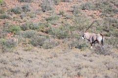 Oryx or gemsbok in the Karoo National Park Stock Images