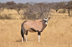 Oryx (Gemsbok) Stock Photos