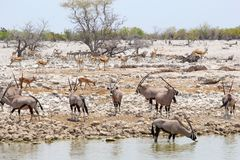 Oryx gemsbok herd waterhole Etosha, Namibia Royalty Free Stock Photography