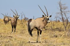 Oryx - Gemsbok Wildlife Background from Africa - Double Sharp Lined Horns Stock Image