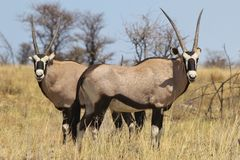 Oryx - Gemsbok Wildlife Background from Africa - Double Sharp Royalty Free Stock Photos