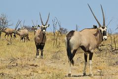 Oryx - Gemsbok Wildlife Background from Africa - Line of Sharp Horns Stock Photography