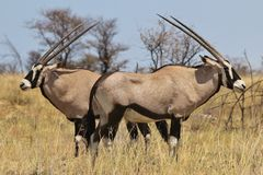 Oryx - Gemsbok Wildlife Background from Africa - Two sides to everything Royalty Free Stock Photos
