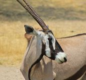 Oryx - Gemsbuck - μπούκλες και λωρίδες Στοκ φωτογραφίες με δικαίωμα ελεύθερης χρήσης