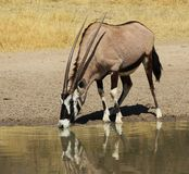 Oryx - Gemsbuck reflections super Stock Image