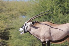 Oryx, Gemsbuck - Smiling African Antelope - Funny Life Stock Photos