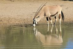 Oryx, or Gemsbuck - Wildlife from Africa - Reflection Royalty Free Stock Image