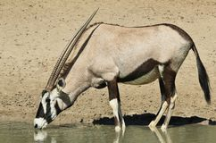 Oryx / Gemsbuck - Wildlife from Africa - Thirst Royalty Free Stock Photos