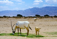 Oryx goats in nature reserve, Israel Royalty Free Stock Photos