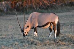 Oryx grávido do Gemsbok que pasta na grama no por do sol Imagens de Stock