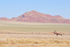Oryx in grass and mountain landscape Royalty Free Stock Photos