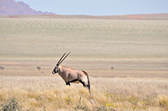 Oryx in grass and mountain landscape Stock Images
