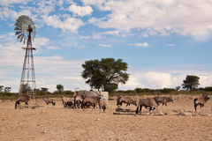Oryx grazing in the desert at water hole Royalty Free Stock Photos