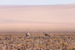 Oryx grazing in the Namib desert, Namib Naukluft National Park, travel destination in Namibia, Africa. Oryx grazing in the Namib desert, Namib Naukluft National Royalty Free Stock Image