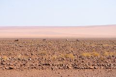 Oryx grazing in the Namib desert, Namib Naukluft National Park, travel destination in Namibia, Africa. Oryx grazing in the Namib desert, Namib Naukluft National Stock Image