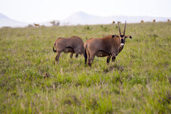 Oryx grazing in the savanna. Of East Tsavo Park in Kenya Stock Images