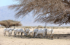 Oryx herd Stock Image