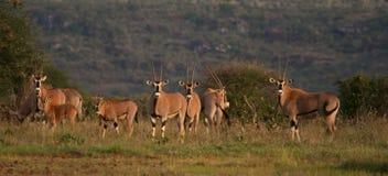 Oryx herd Stock Images