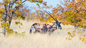 Oryx hiding in the bush Royalty Free Stock Photography