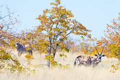 Oryx hiding in the bush. Stock Images