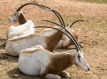 Oryx Horned do Scimitar imagem de stock royalty free