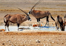 Oryx and impala. Antelopes by the waterhole in Etosha National Park, Namibia Stock Photo
