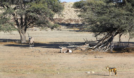 Oryx and jackal in the Kalahari. Oryx and jackal in the Kgalagadi Transfrontier National Park in South Africa and Botswana Stock Photography