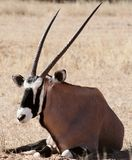 Oryx in the kalahari desert. Oryx lying down in the kalahari desert showing horns and markings on face stock images