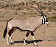 Oryx in kalahari desert. Side view of oryx antelope in kalahari desert in south africa royalty free stock image